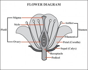 flower_diagram
